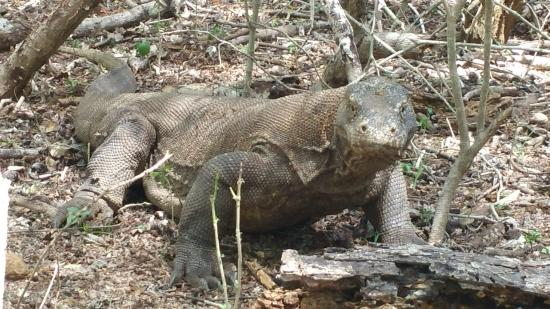 Bajo Komodo Eco Lodge: It was a thrill seeing them in the wild