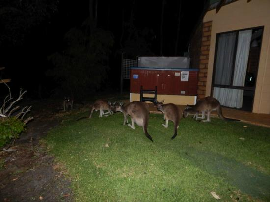 Yelverton Brook Eco Spa Retreat & Conservation Sanctuary: Kangaroos hanging around ready for their spa!