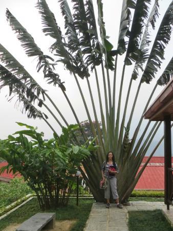 Centrest : Arbre du Voyageur dans le jardin de l'hôtel