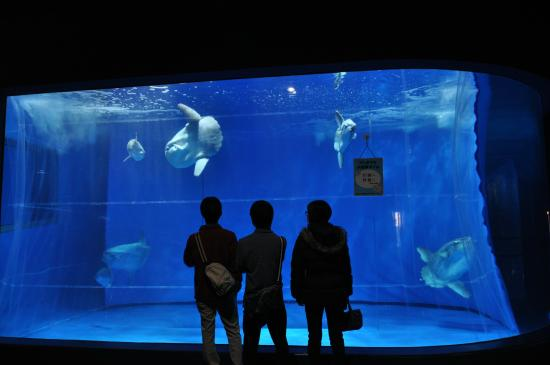 マンボウの剥製 - Picture of Aqua World Ibaraki Prefectural Oarai Aquarium, Oarai-mac...