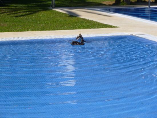 CalaMijas Hotel: Pato en la pileta