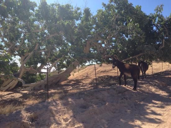Los Frailes, Mexico: Free roaming donkeys