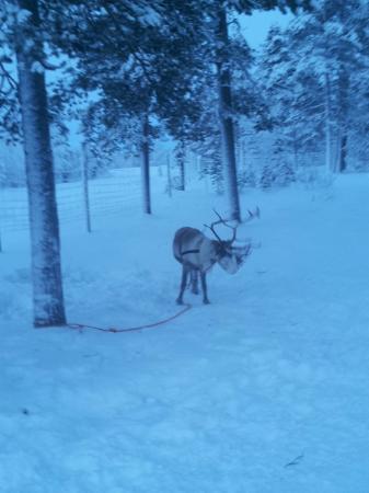 Ounasloma Luxury Cabins: Reindeer on Christmas Day