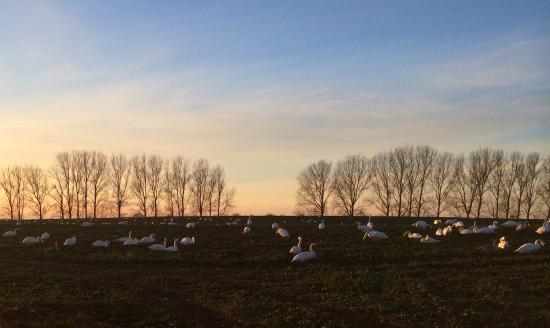 Gross Stroemkendorf, Alemania: Schwäne auf dem Feld nahe Hotel