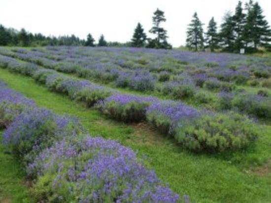 Seafoam Lavender Company and Gardens