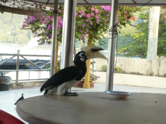 Coral Beach : Feeding d hornbill