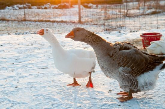 Inn BTween Farm Bed and Breakfast : Ask Pam about her famous duck and goose.