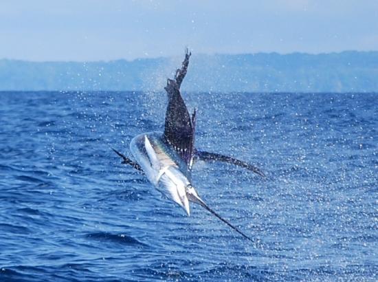 Дрейк-Бэй, Коста-Рика: Sailfish jumping