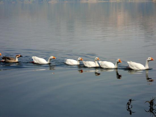 Mansar Lake: Marching Ducks!
