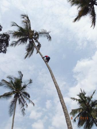Kendwa, Tanzania: Raccolta noci di cocco