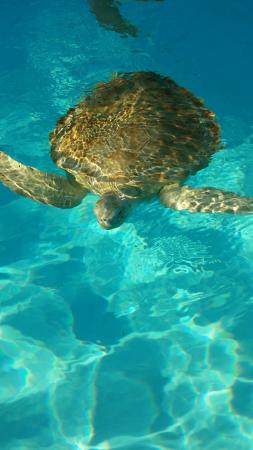 A green turtle swimming in the salt water pool - Picture of ...