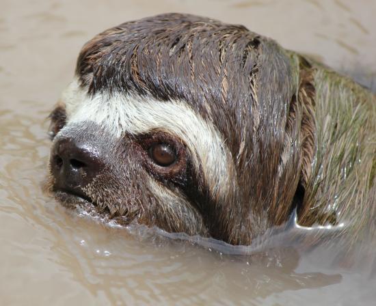 Llaquipallay Lodge and Expeditions : Swimming sloth deep at the jungle