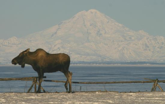 Clam Gulch Lodge: Moose in Backyard - Mt. Redoubt View