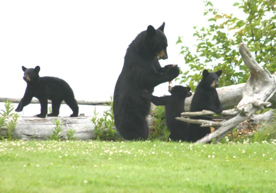 Clam Gulch Lodge: Black Bears in Backyard