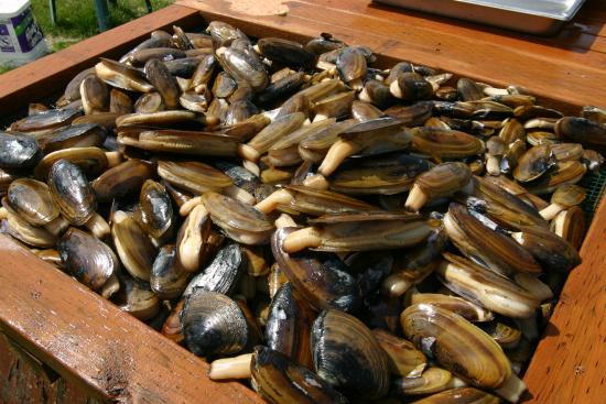 Clam Gulch Lodge: Razor Clams Harvest