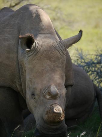 Schotia Safaris Private Game Reserve: Rhino im Schotia
