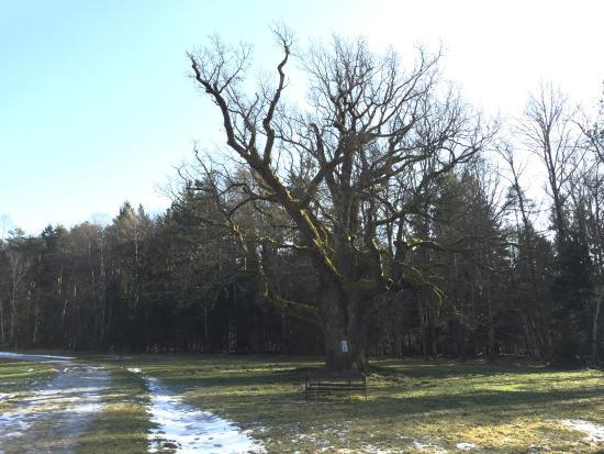 1000-Jahrige Eiche: Winter