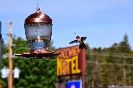 Americas Best Value Sundowner Motel: humming-bird