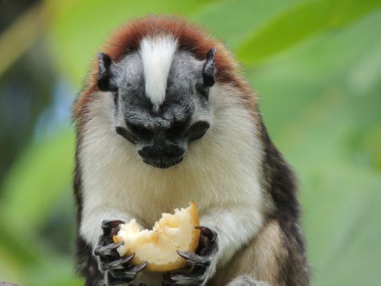 Monkey Lodge Panama: ouistiti