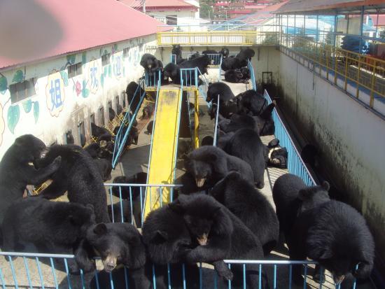 Mudanjiang, Cina: медведи