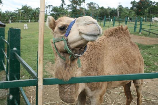 Paradizoo : camel