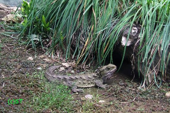 Invercargill i-SITE Visitor Information Centre : HENRY the Tuatara