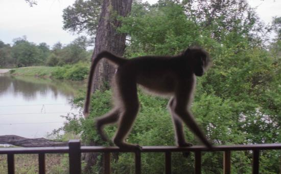 Gomo Gomo Game Lodge : Early morning visitor to the room veranda
