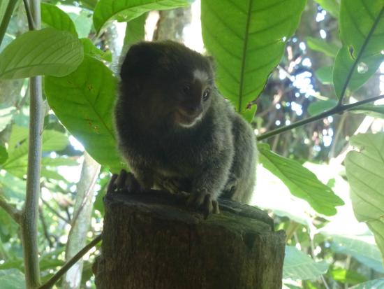 Pousada Ouro Verde: monkey observed from our breakfast table