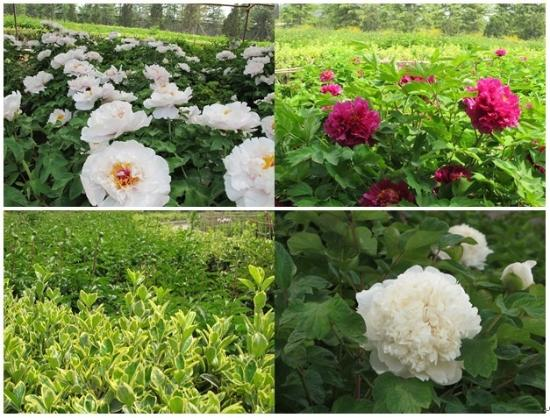Luoyang International Peony Garden : 牡丹