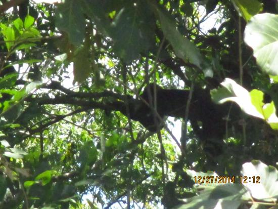 Rio Seco, Costa Rica: A howler monkey, just chillin.