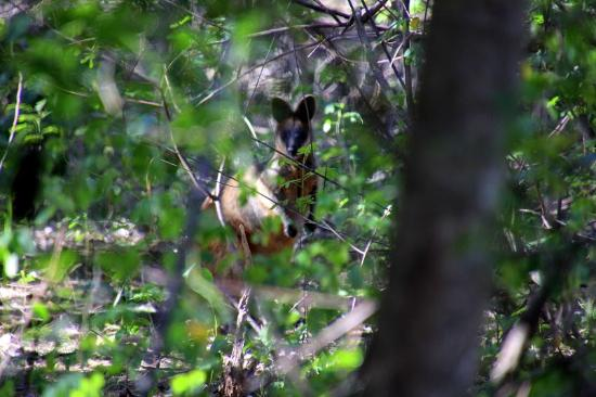 Arakwal National Park: Wallaby