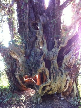 The Black Bear Inn: Four thousand year old yew tree