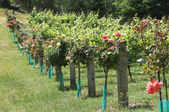 Retiro Park Lodge : The vineyard