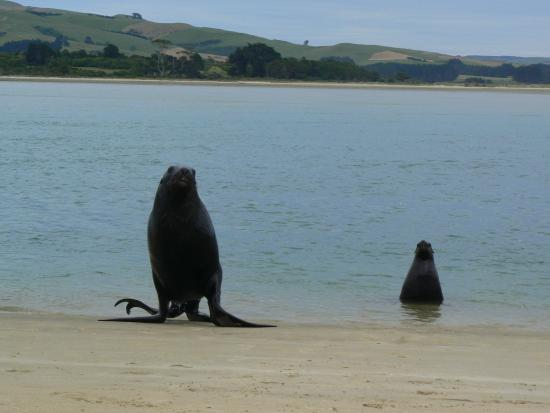 Catlins Newhaven Holiday Park : A male and female sea lion coming ashore