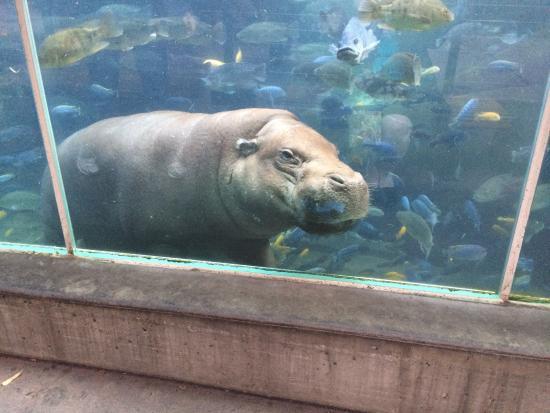 Pygmy hippo!!! - Picture of San Diego Zoo, San Diego ...