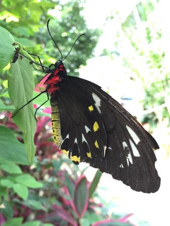 Coffs Harbour Butterfly House : Butterfly.