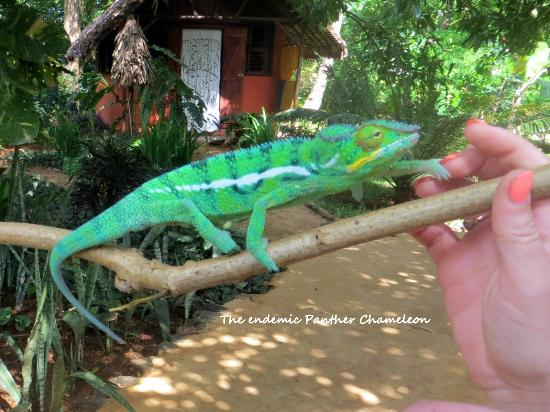 Sakatia Lodge: A panther chameleon right outside our room