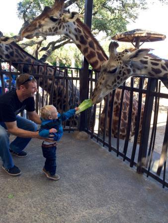 Houston Zoo : Had a blast feeding the giraffes!