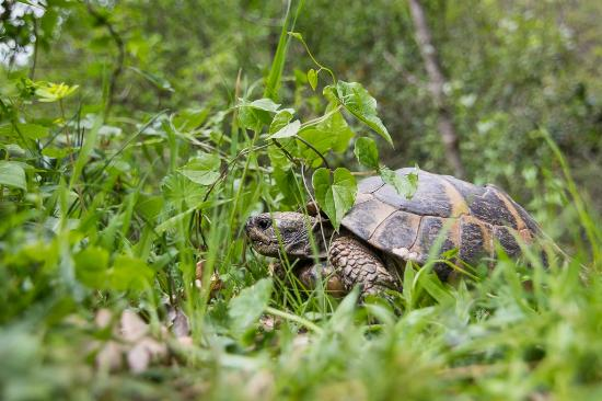 I have captured this big turtle just behind a fence of campsite - na ...