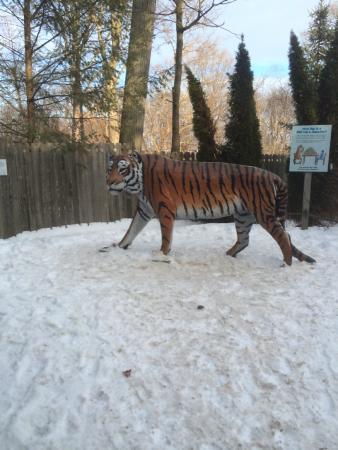 amur tiger picture of rosamond gifford zoo syracuse tripadvisor