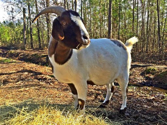 SC-CARES - SC Coastal Animal Rescue & Educational Sanctuary: Goat