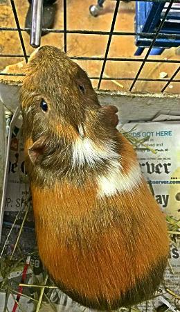 SC-CARES - SC Coastal Animal Rescue & Educational Sanctuary: Guinea Pig