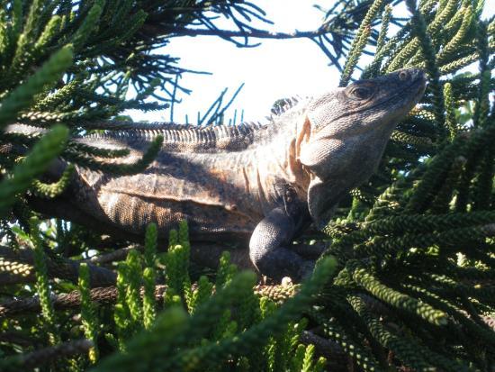 Casa Del Puente : huge iguanas in trees!
