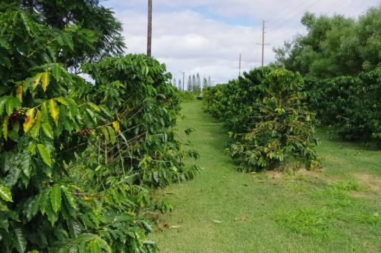 Green World Farms: Coffee growing