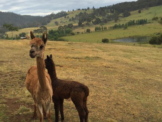 Heimat Chalets : Petting alpackas
