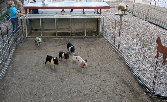 Bear Creek Saloon: Pig racing