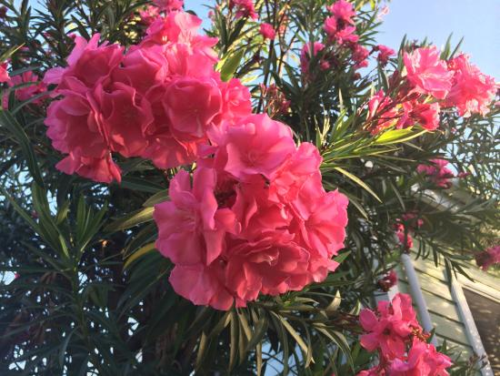 Dutchman's Bay Cottages: Hibiscus on the property