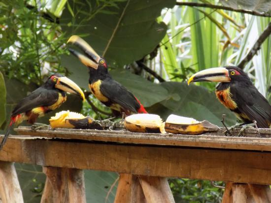 Terrabambu Restaurant Lodge: Toucans on the porch at breakfasr
