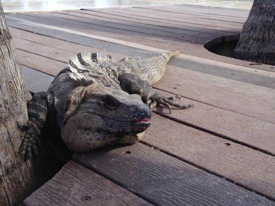 Ocean Coral & Turquesa: Wild Iguana