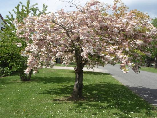 Hanmer Springs Top 10 Holiday Park : Ornamental cherries in bloom on the street outside